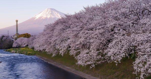 予祝-桜と富士山
